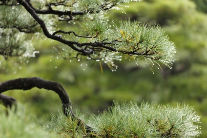 Cloud Pruned Pines and Select Evergreens